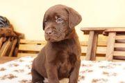 Labrador Welpen choco reinrassig mit