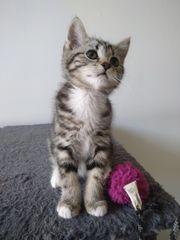 Süßes BKH Kätzchen zum Verlieben