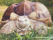 12 Spornschildkröten G sulcata abzugeben