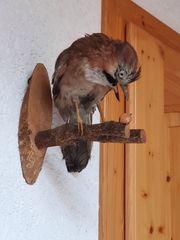 Ausgestopfter Vogel - Eichelhäher - auf Holz