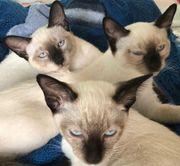 Siam Kitten Babys Reinrassig