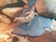 6 Leopardengeckos mit 3 Terrarien