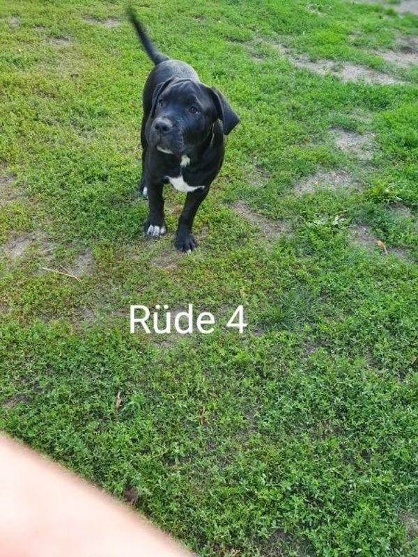 Bulldog Labrador Mix