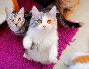 Traumhafte BLH Ben Kitten suchen