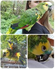 Weibchen sucht rühige männliche Amazone