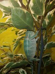 RESERVIERT chamäleons Furcifer Pardalis Pantherchamäleon