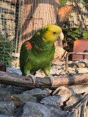 Gelbkopf Amazonen Pärchen