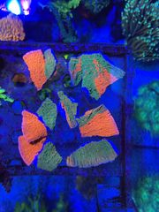 Ableger Montipora Grafted LPS