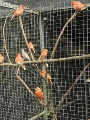 Kanarienvögel Rot Gescheckt