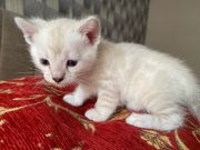 Bengal Kitten Snow Lynx Zuchtfrei