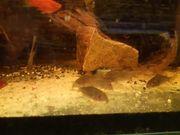 Corydoras sterbai Orangeflossen Panzerwels abzugeben