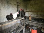 14 Stück Hühner