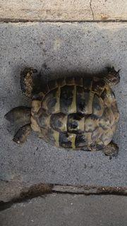 griechische Lanschildkröten zu verkaufen testudo