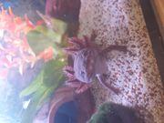 Axolotl abzugeben
