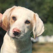 Ashton 6 Monate alter Labrador