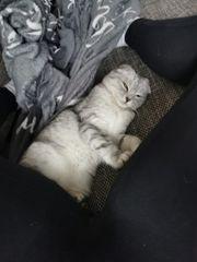 Bkh-misch Kätzchen