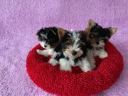 Wunderschöne Biewer Yorkshire Terrier Welpen