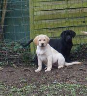 Labradorwelpen 1gelbe und 1schwarze Hündin