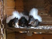 Eichhörnchen-Jungtiere