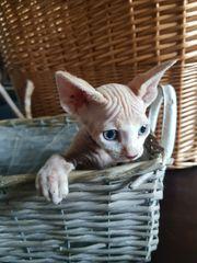 Sphynx Kitten ab Ende Juni