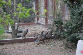 Vögel - Kalifornische Schopfwachteln Wachteln Schopfwachtel