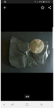 pyritsonne auf Schieferplatte