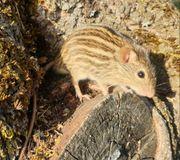 Vielstreifengrasmäuse zu vergeben