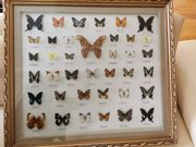 Tropische Schmetterlingssammlung im Rahmen