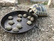 Griechische Landschildkröten THB - Nachzucht 2020 -