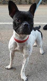Tierschutzhund Boston Terriermädchen ca 2