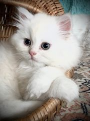 Perser Kitten Weiß-Gold