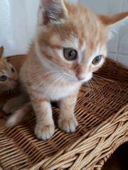Katzenbabys 9 Wochen
