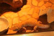 3 Leopardengeckos mit Terrarium und