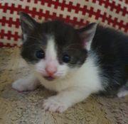 katzenbaby kitten Abgabe 12 Wochen