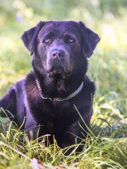 Labrador Deckrüde tolle Farbe