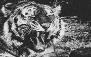 Vorlage für Ministeck Tiger 80x60cm