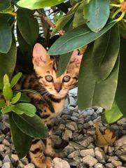 Bengal Kitten Mitte Juni abzugeben