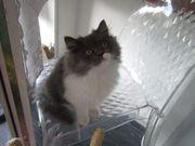 Perser-Kitten zu verkaufen Eltern mit