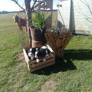 Bernersennhundwelpen zu verkaufen