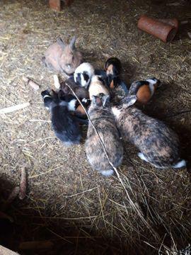 gebe mehrere Kaninchen und Meerschweinchen: Kleinanzeigen aus Westerburg Gershasen - Rubrik Kleintiere