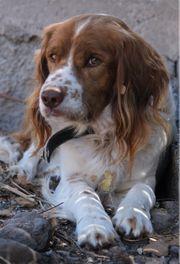 COKI-liebevolles Hängeohr aus dem Tierschutz