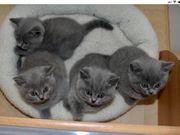 BKH Kitten Kater bald zu
