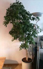 Super Ficus Benjamini 15 Jahre