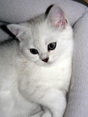 Abgabebereit Fabelhafte reinrassige BKH Kitten