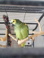 Amazonenpaar zu verkaufen Zwei Männchen