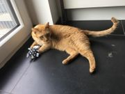 roter Kater Tappsy vermisst in