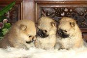 Pomeranian Zwergspitz Rüden zu verkaufen