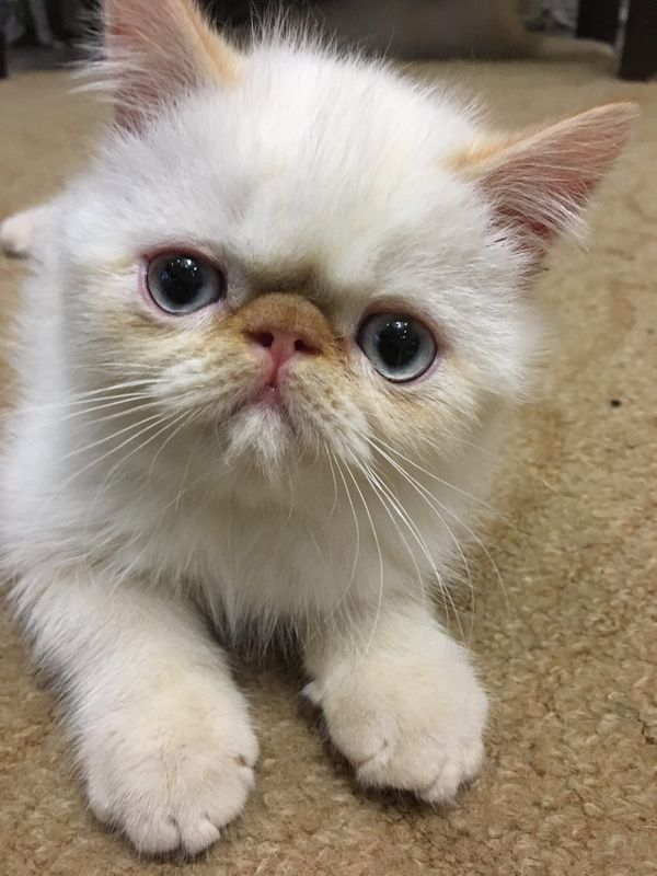 tabby white Perser