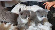 BKH Kitten Katzenbabys
