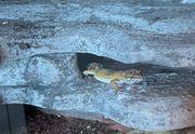 Leopardgeckodamen